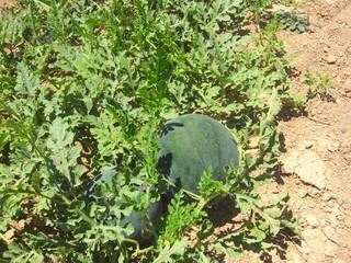 watermelons growing in field