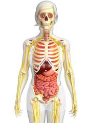 3d rendered illustration of female skeletal anatomy