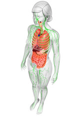 Lymphatic and digestive system of Female body artwork