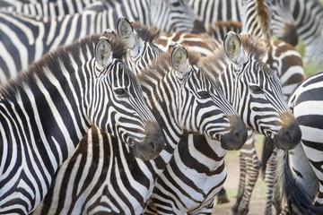 Wall Murals Zebra Portrait of three plains zebra (Equus burchellii) in herd, Serengeti national park, Tanzania.