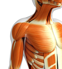 3d rendered illustration of muscles anatomy