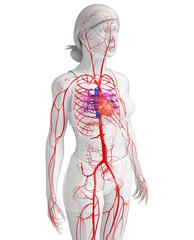 Female arterial system