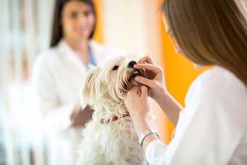 Checking teeth of Maltese dog in vet clinic