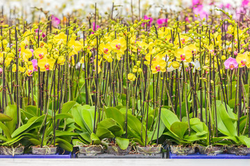 Rows of colorful orchids