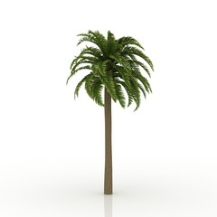 3D tree canary date palm pine isolated on white background