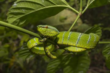 Borneo Pit Viper - green snake in tree