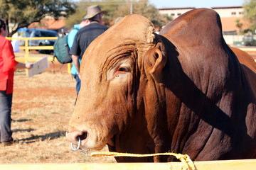 Brown Brahman bull head photo with nose ring