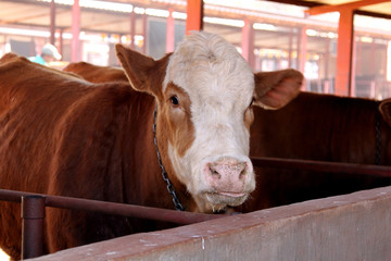 Brown with white on head Simmentaler cow in stable