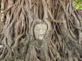 Head of sandstone Buddha in the tree roots.