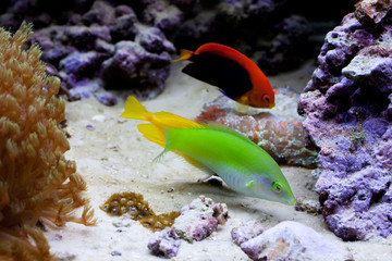 Marine tropical aquarium with colorful fishes.