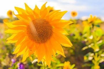 Field sunflowers summer closeup beautiful yellow flower sun