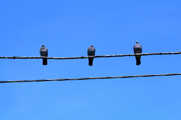 Three pigeons on the wire