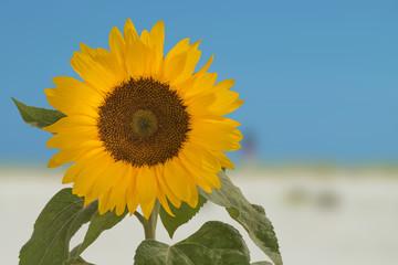 Sonnenblume, Helianthus annuus, gehört zur Familie der Korbblütler.
