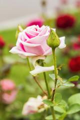 background blurred delicate pink rose in a summer garden