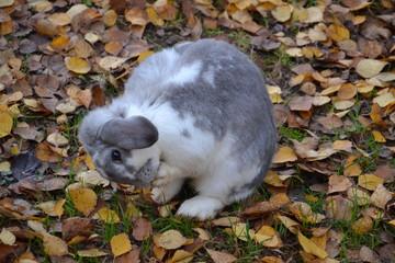 lapin bélier dans le jardin