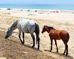 The mare and her foal on the beach, Spain