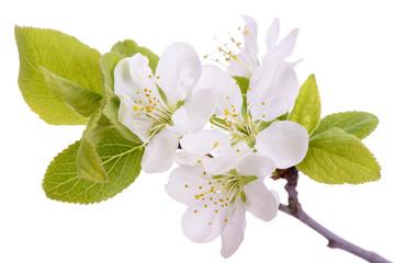 Blütenstand an einem Pflaumenbaum, isoliert vor weißem Hintergrund