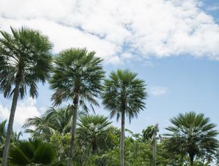 Toddy or Sugar palm 3