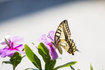 Farfalla colorata e fiori viola