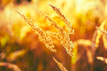 Nature Toned Dry Grass Background