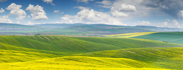 Panoramic background of beautiful yellow-green floral canola fie