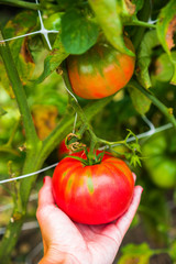 Farm raised tomatoes