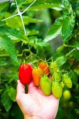 Farm raised tomatoes