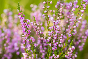 Heather flowers on a colored background bokeh