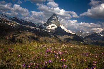 Swiss beauty, flowers meadow under Matterhorn