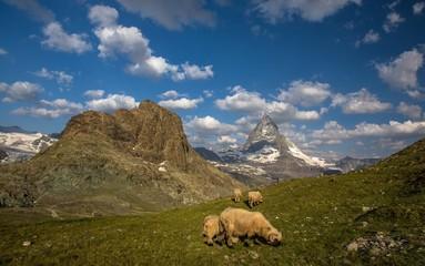 Swiss beauty, sheeps under breathtaking Matterhorn