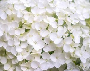 White hydrangea paniculata blossoms