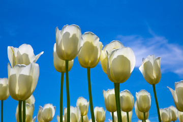 White Texas Tulips