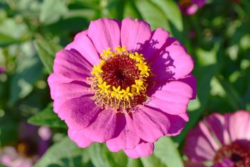ピンク色の百日草の花