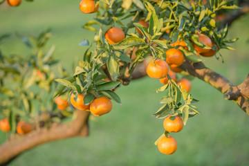 orange orchards