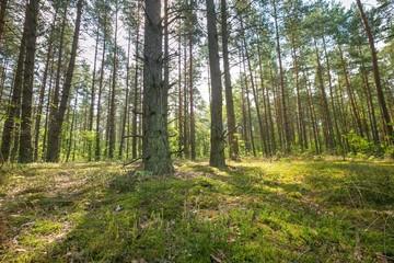 Beautiful summer pine forest