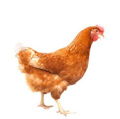 Fotobehang Kip full body of brown chicken hen standing isolated white backgroun