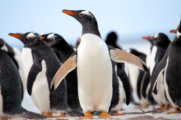 Gentoo Penguins (Pygoscelis papua) Falkland Islands.