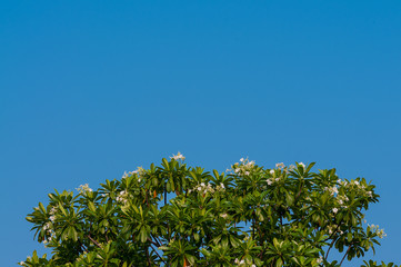 Background of Plumeria (frangipani) tree texture with blue sky.