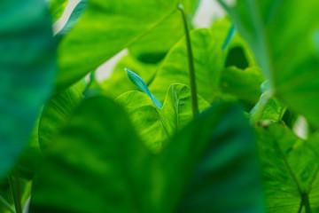 Taro plant background