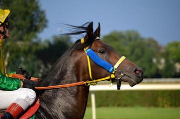 Arabian horse racing