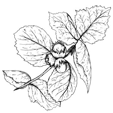 HAnd drawn vector illustration of hazelnut branch and leaves
