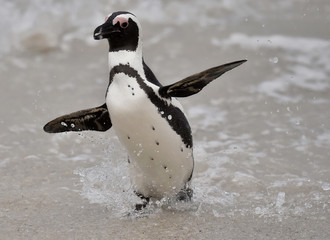 Portrait of African penguin (spheniscus demersus) at the Boulders colony. South Africa