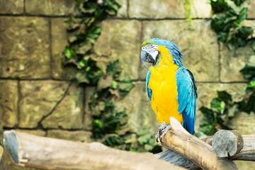 One blue-and-yellow macaw (ara ararauna) sitting on a branch, fo