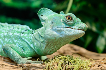 Close-up view of a green Plumed basilisk Lizard (Basiliscus plum