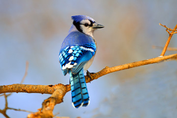 Blue Jay sitting on Branch