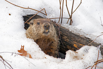 Groundhog emerges from snowy den Wall mural