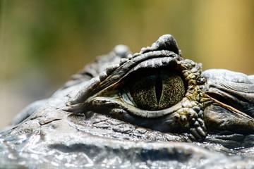 Crocodile Caiman Eyes Detail Close Up