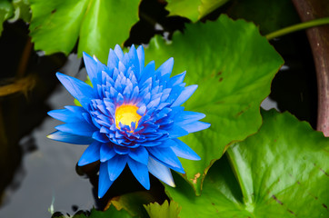 Garden Poster Lotus flower Blue lotus on the pond