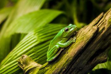 Green tree frog on broken branch