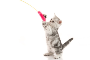 A gray  tabby kitten playing with a toy